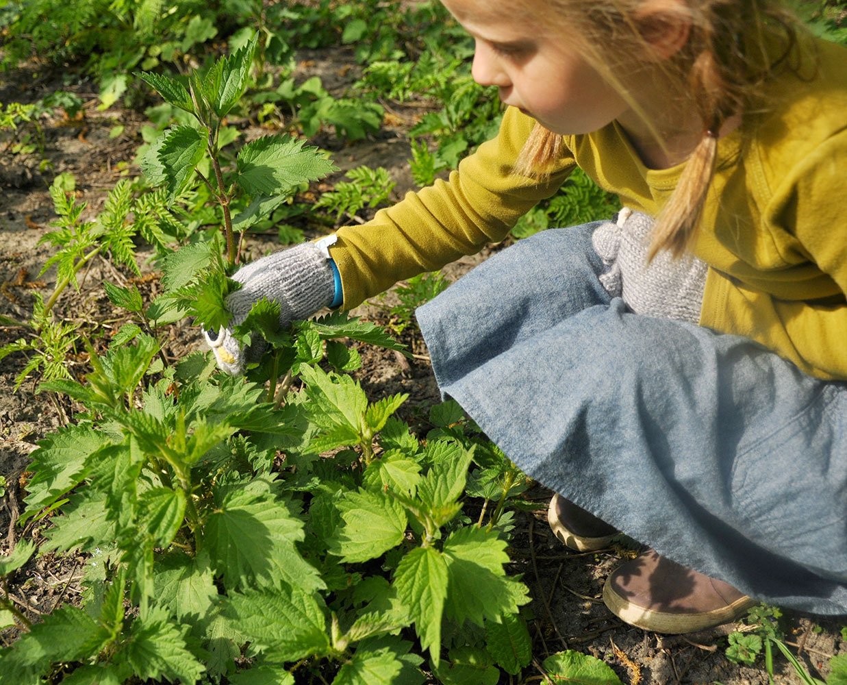 edible weeds, foraging, stinging nettle