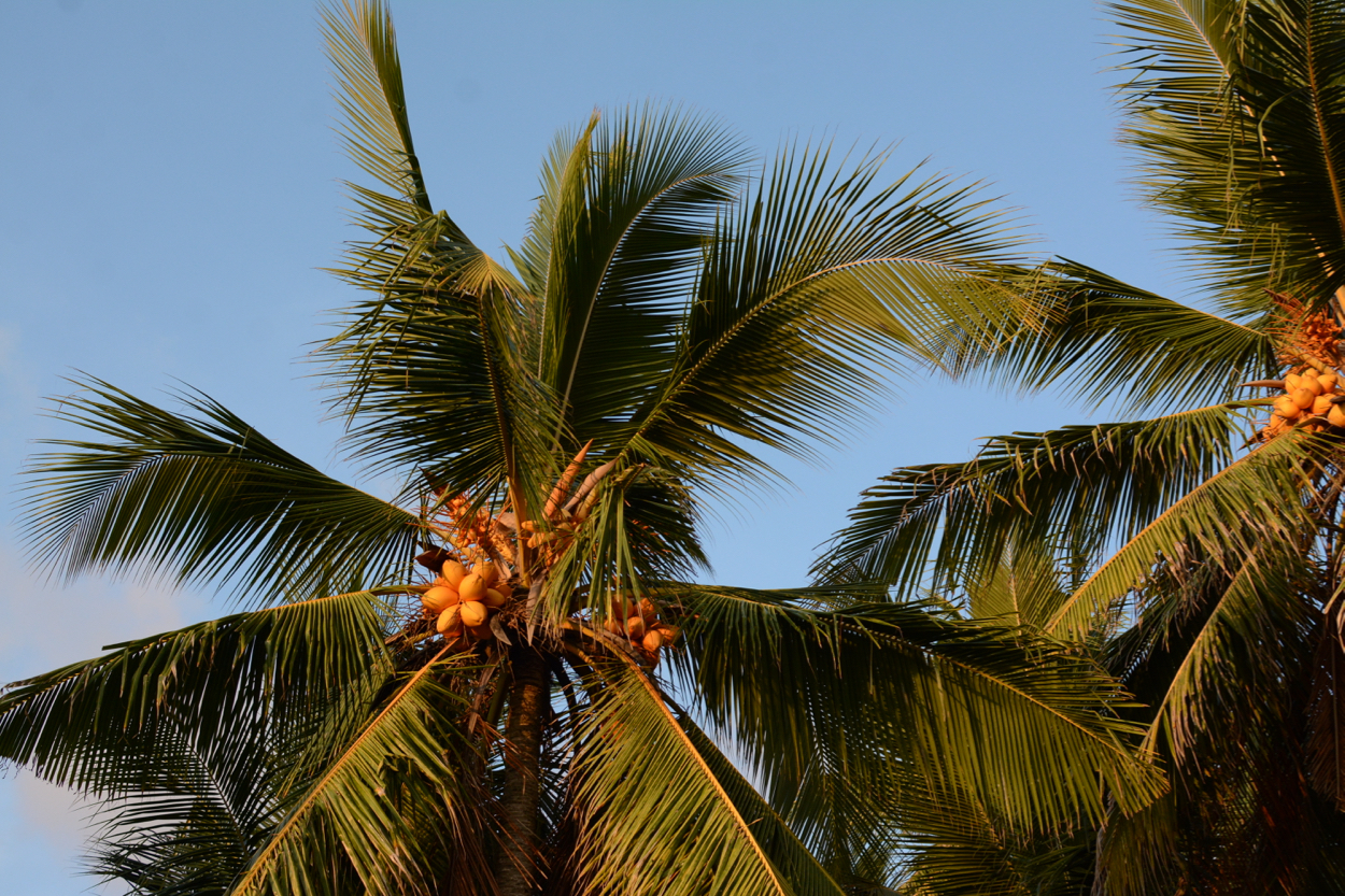 palm trees in sri lanka