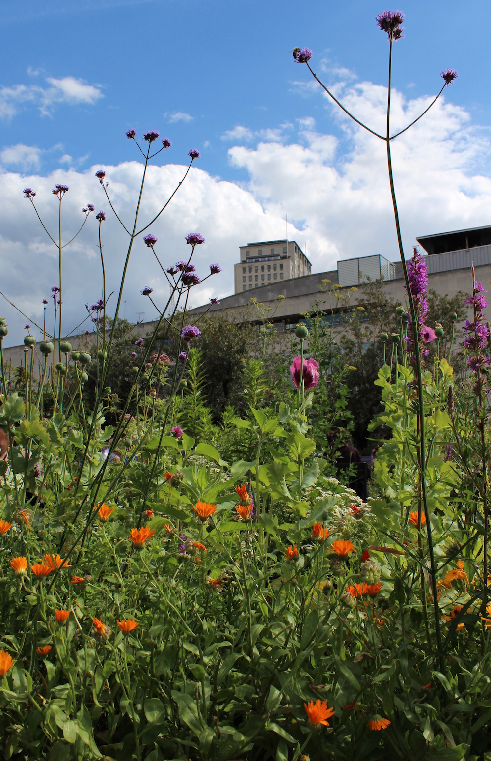 Southbank Centre roof garden orange and purple flowers