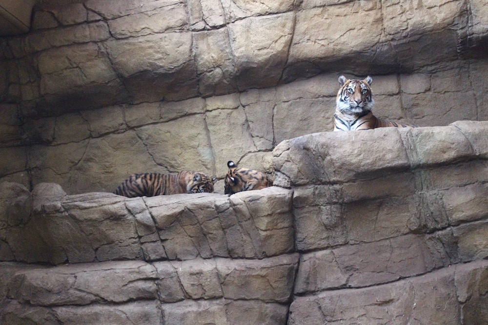 Encounters With The Big Cats At London Zoo Regents Park - Children's birthday party london zoo