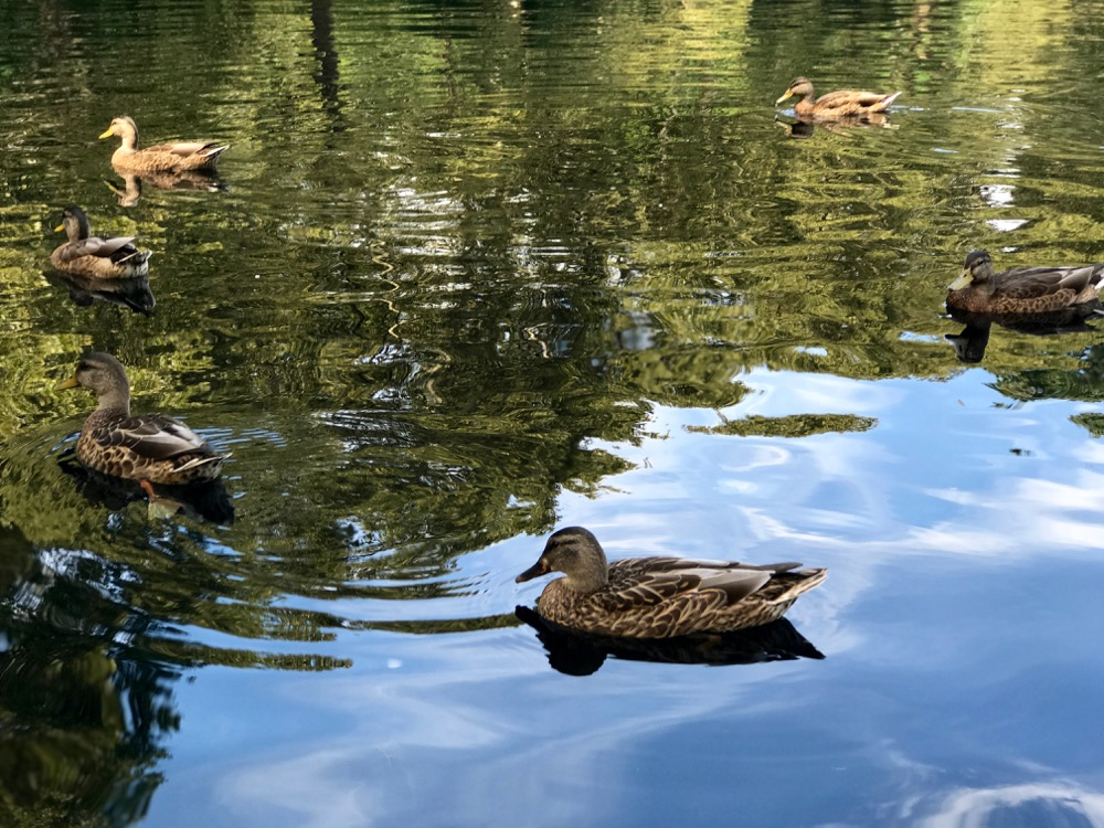 ducks on Conservatory Water
