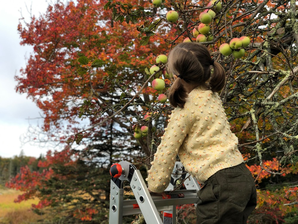 Picking cider apples