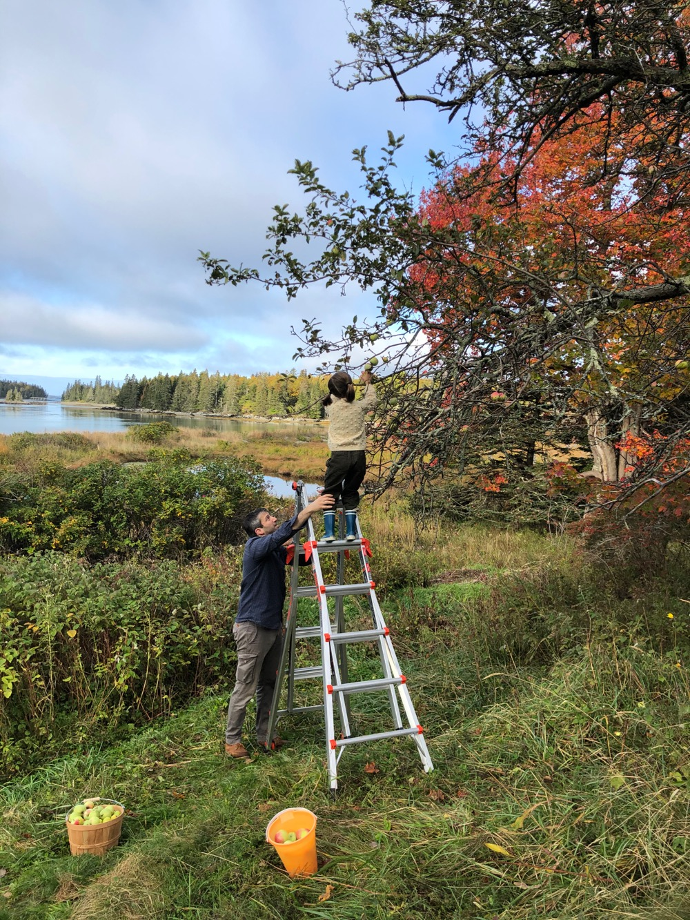 Using a ladder to reach and pick cider apples
