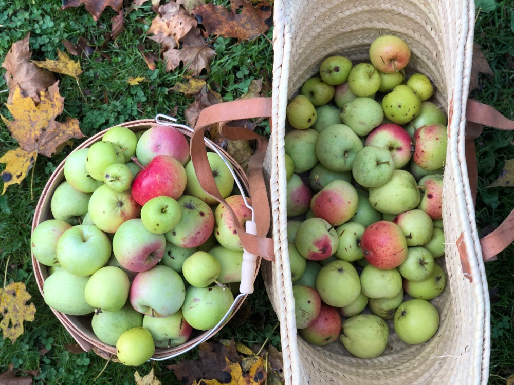 cider apples ready for cider