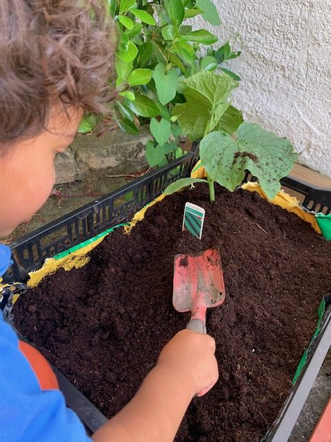 compacting our first courgette plant